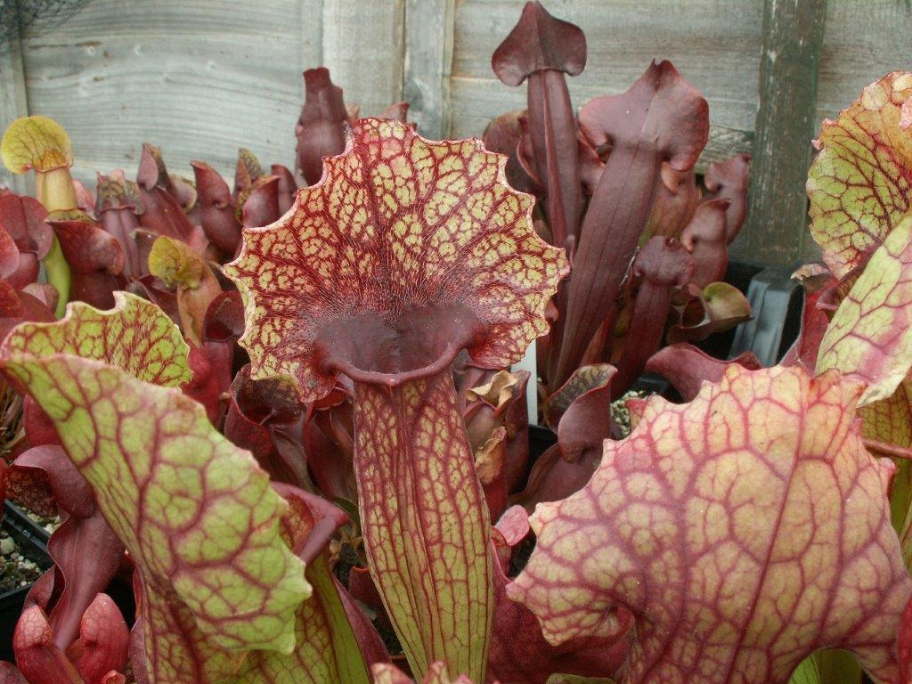 Sarracenia Mitchelliana Hybrid